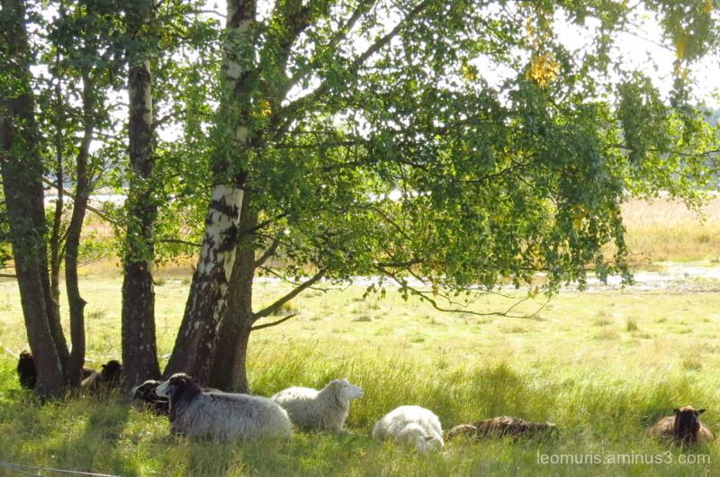 sheep in shadow