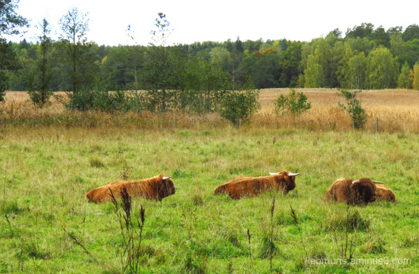 cows are relaxing