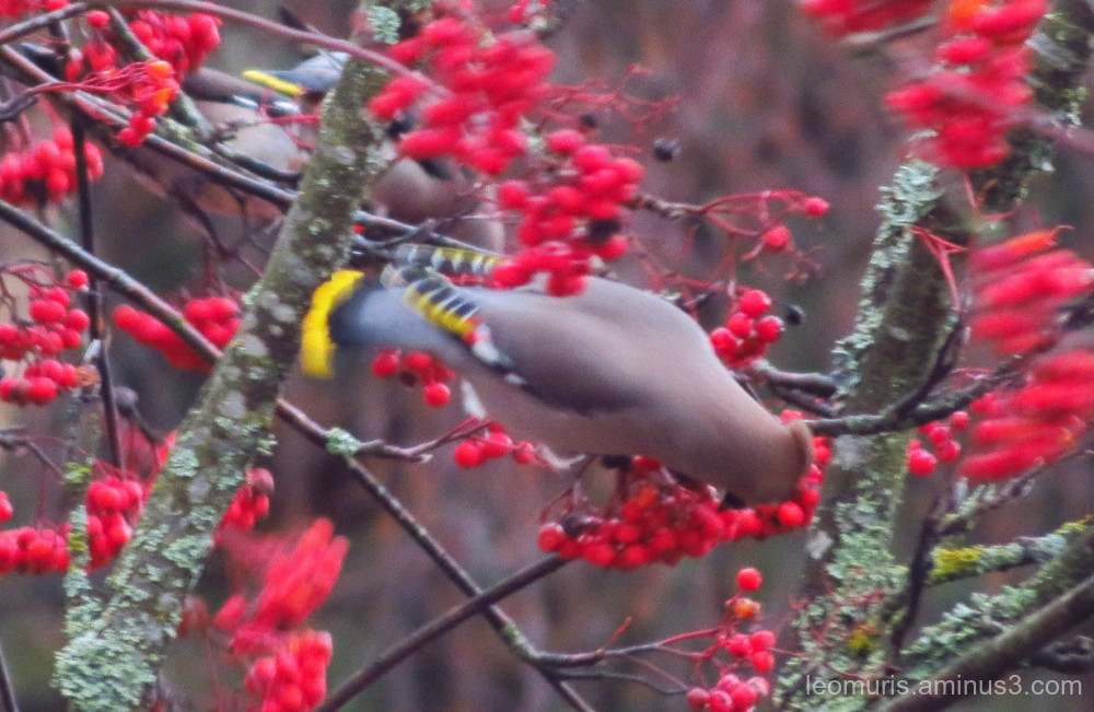 rowan and waxwings
