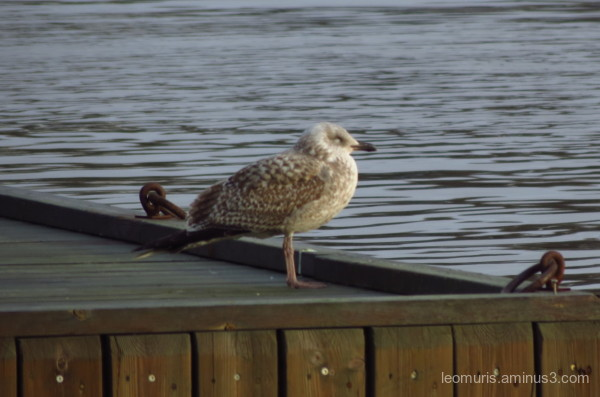Lonely gull