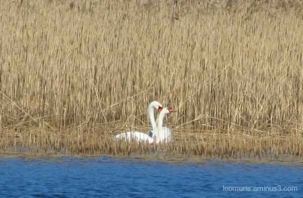 swans in sunshine
