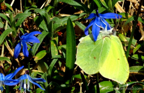Brimstone in flowers