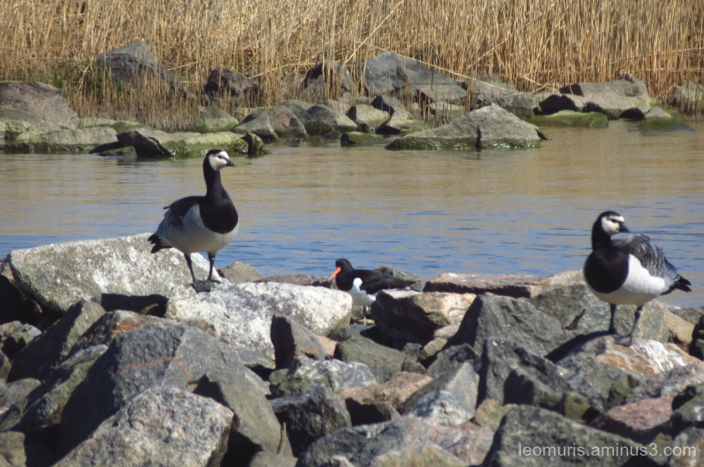 geese, oyster  catcher,