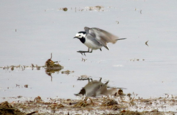 whte wagtail