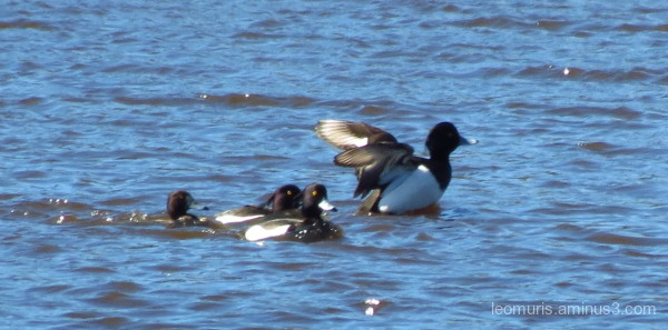 Tufted Duck,