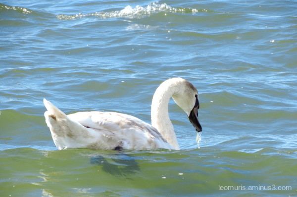 one swan is swimming in clean water