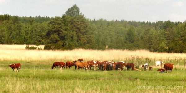 cows enjoys of summer