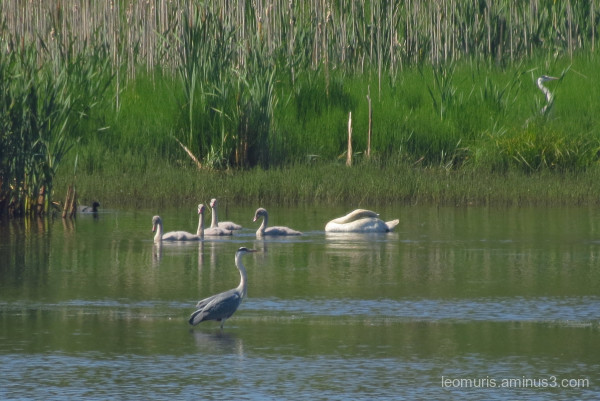 Swans and storks