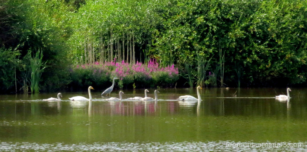 heron and swans