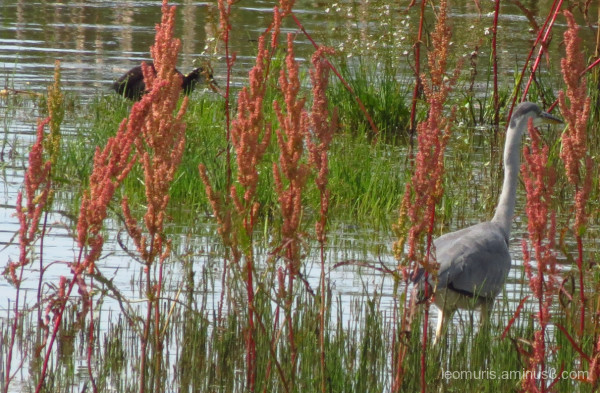 heron and coot