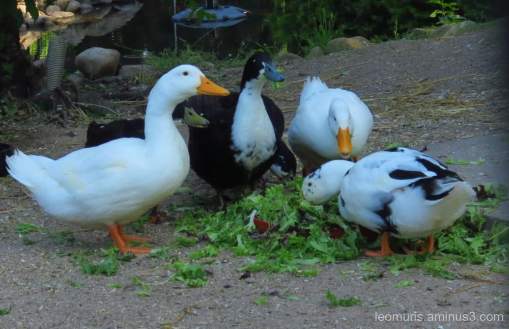geese in eating