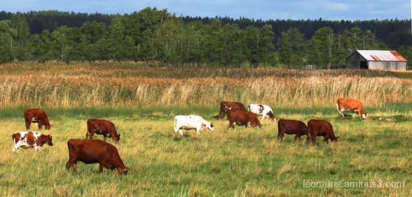 cows pasture