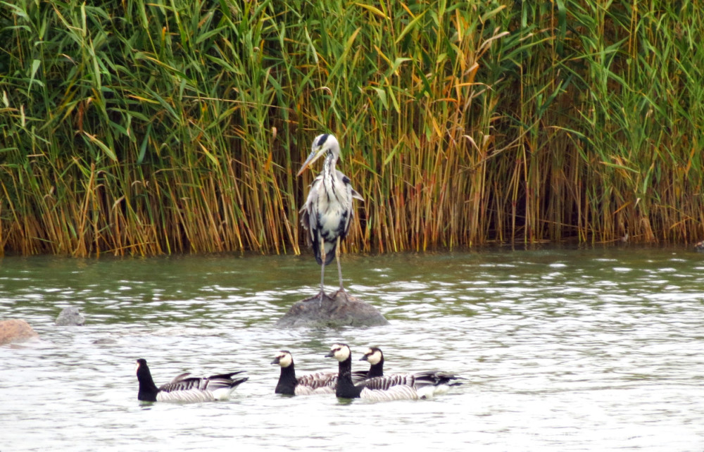 heron and geese