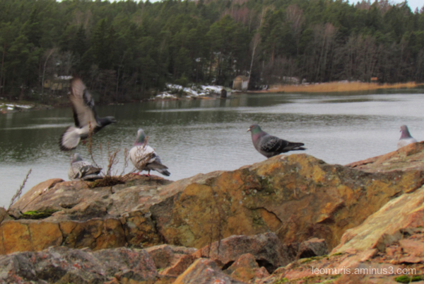 pigeons on the rock