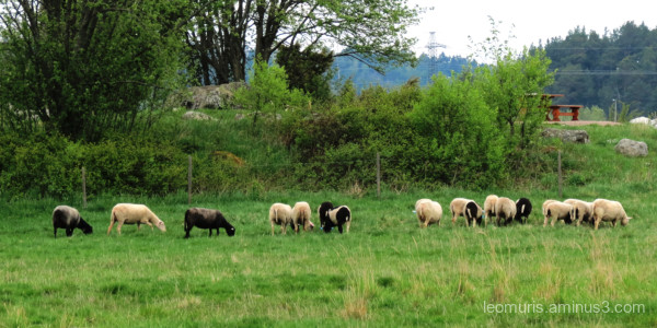 zsheeps on the pasture