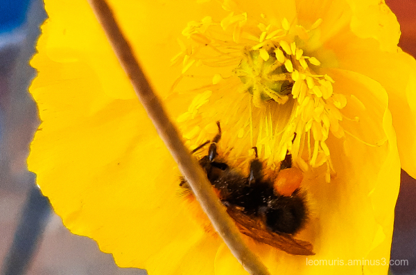 the bee in the flower