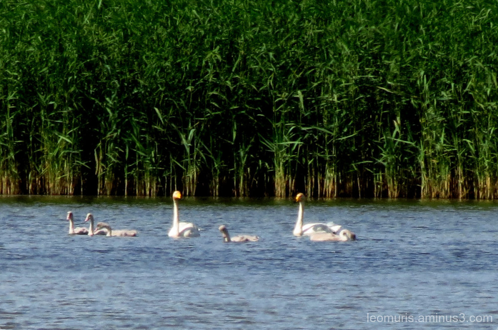 whooper swan familly