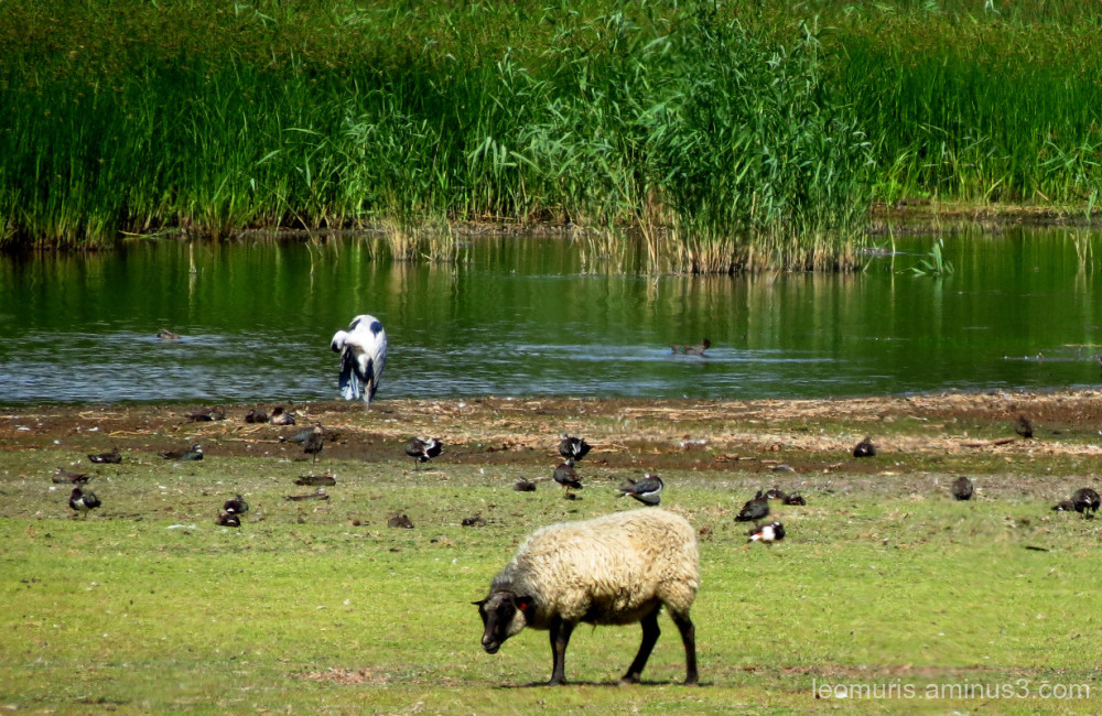 shep and birds