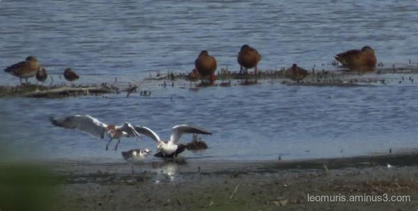 gulls and ducks
