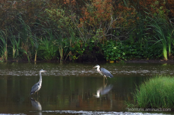 two heron