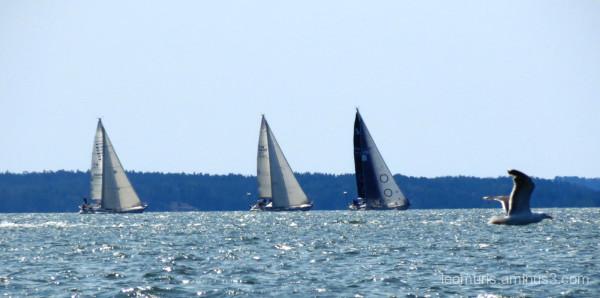 sailboats and gull
