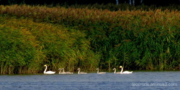 Swan famnily