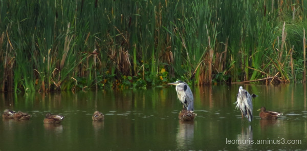 herons and ducks