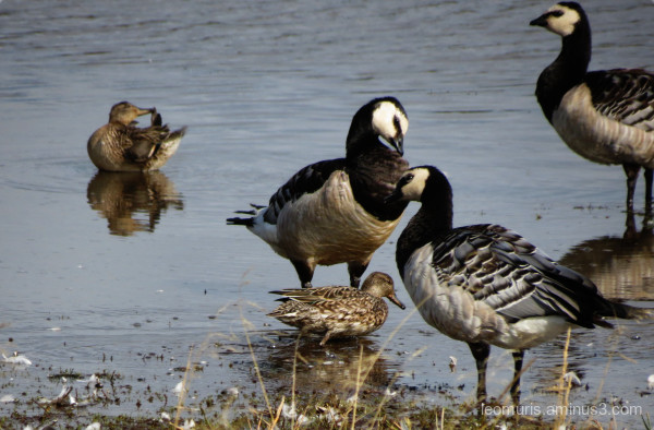 mallards and geese