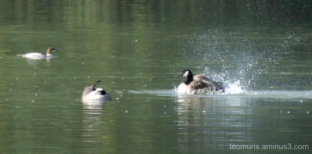 few birds in swimming
