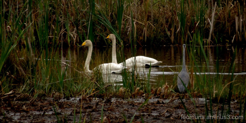 swans and heron