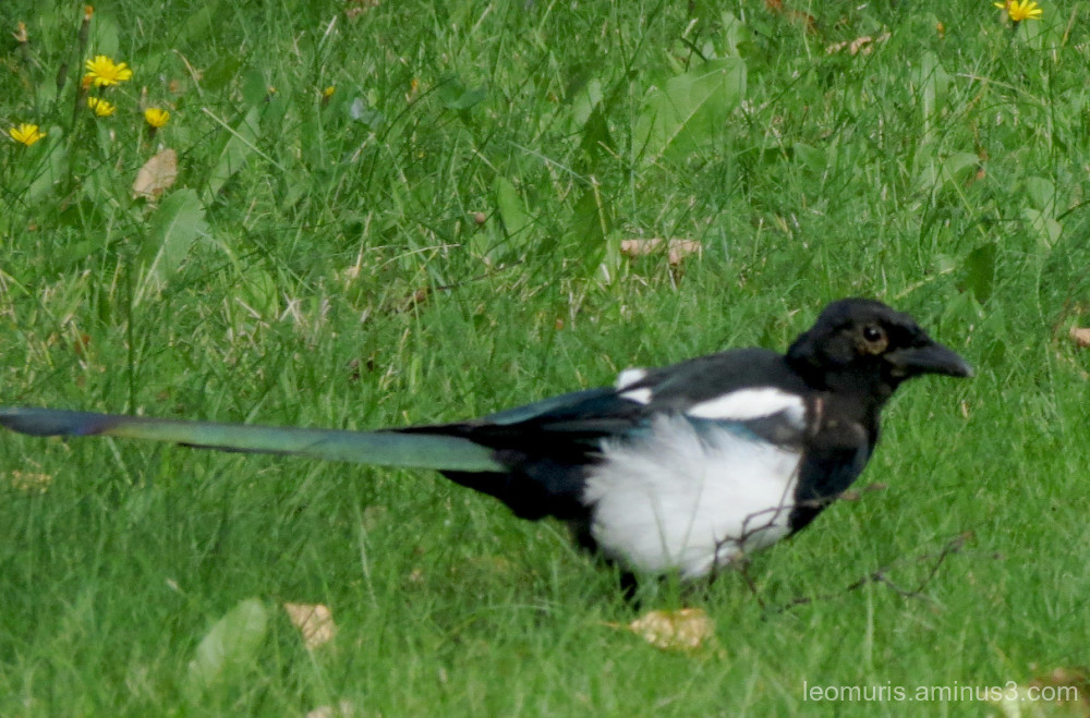 lonely magpie