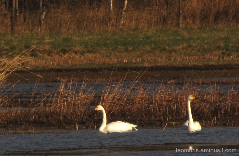 swans in sunny weather