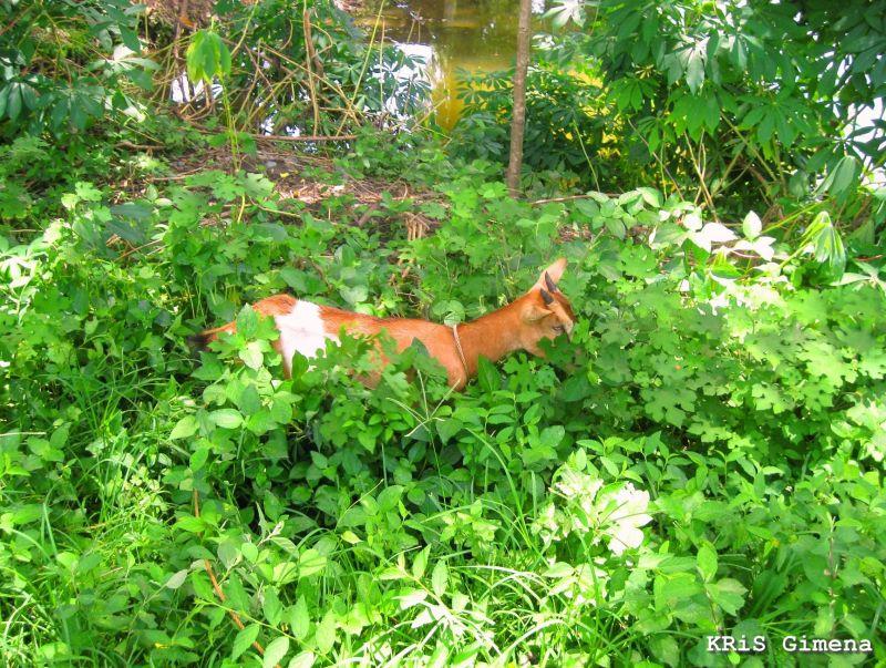 Hiding in Green Goat