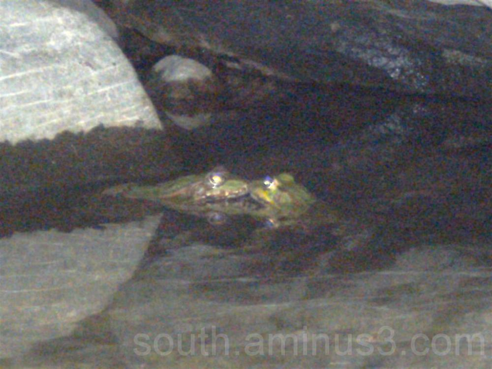 frog eyes water animal cold blood green