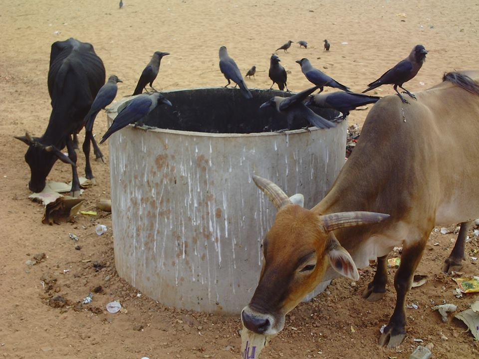 these days in India, Gokarna main beach, crows and