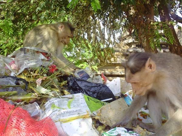 inde singe india monkey trash tri selectif ordures