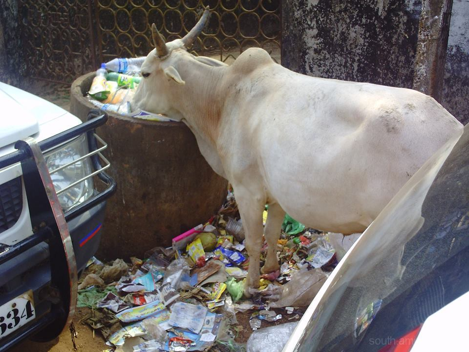 cow trash india street garbage pollution vache