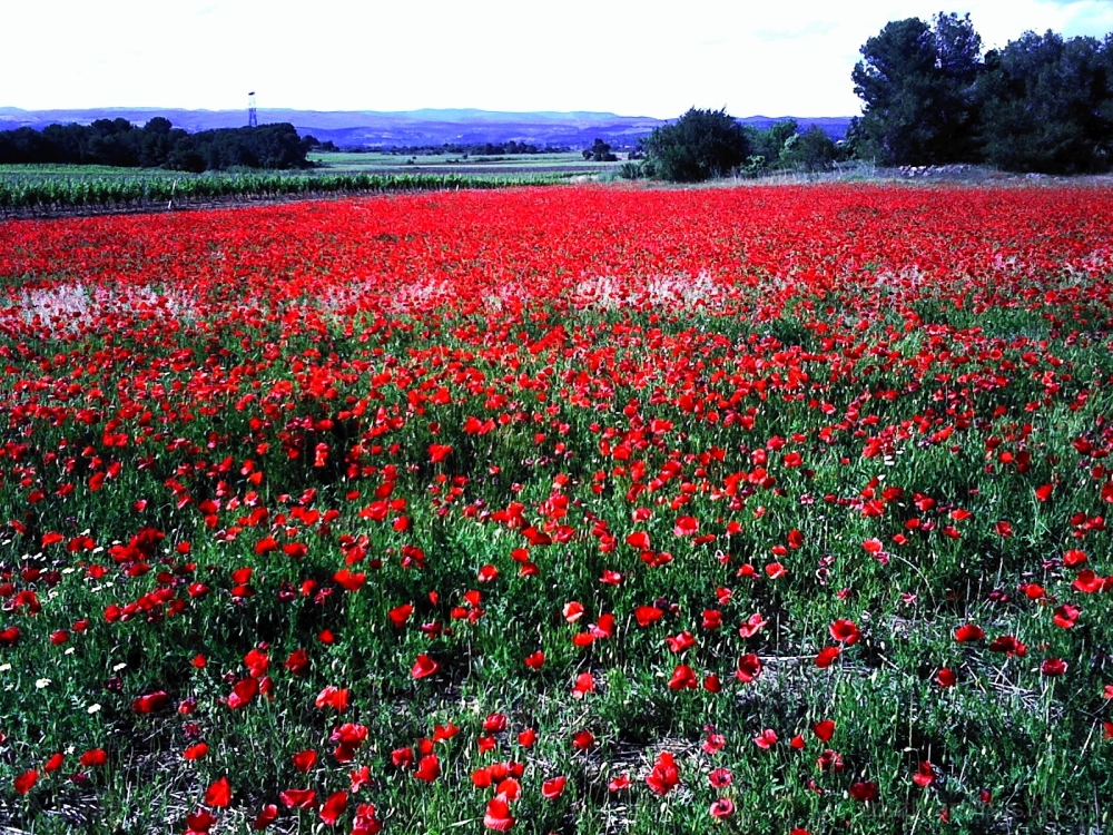 poppy poppies coquelicots rouge couleur