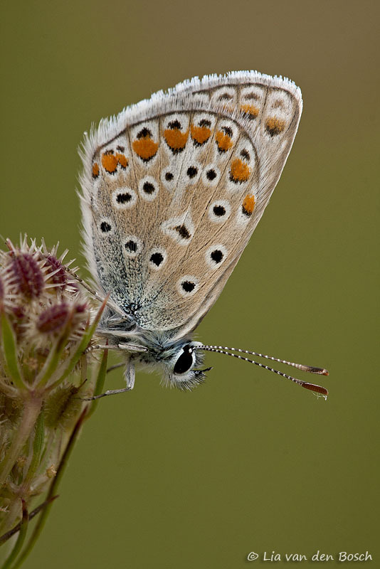 Polyommatus icarus, Icarusblauwtje