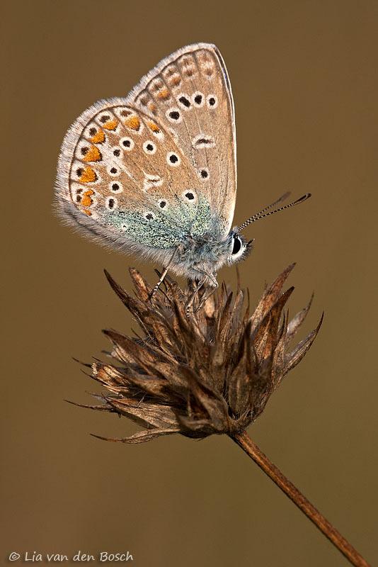 icarusblauwtje, Common blue, Polyommatus icarus