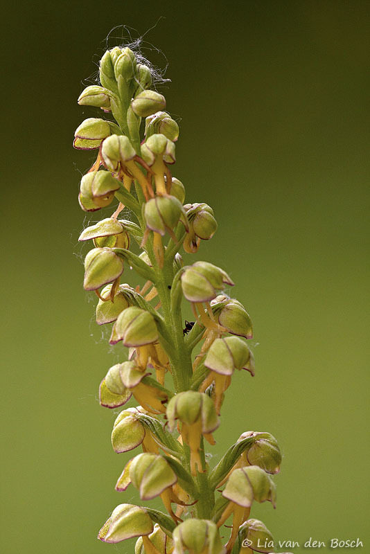 poppenorchis, Orchis anthropophora, Man orchid