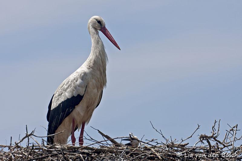 ooievaar, Ciconia ciconia, white stork