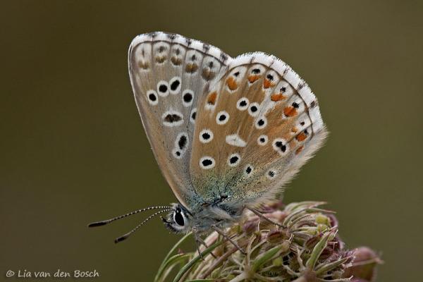 Adonisblauwtje, polyommatus bellargus