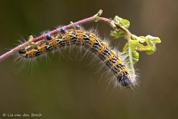rups wapendrager, Phalera bucephala, buff-tip