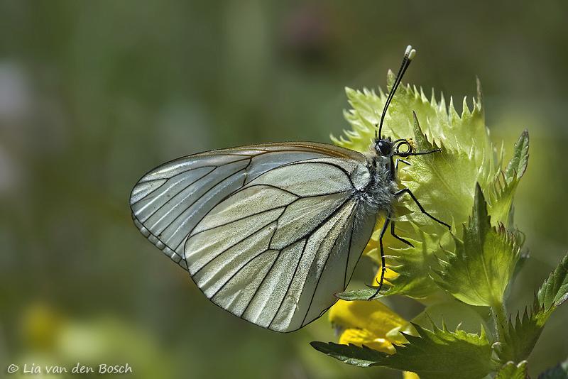 Aporia crataegi, Groot geaderd witje