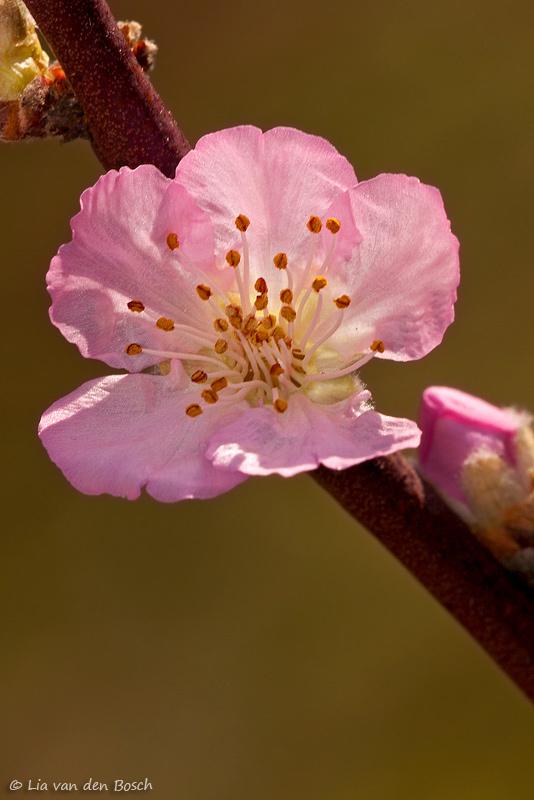 bloesem prunus