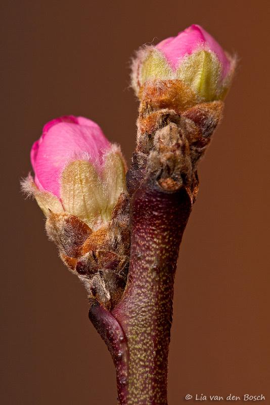 bloesemknoppen van de prunus