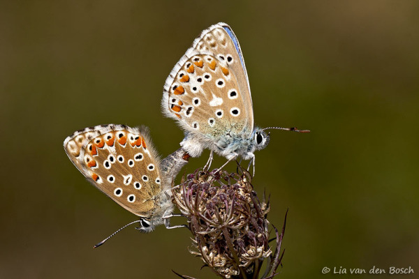 Adonisblauwtjes, polyommatus bellargus