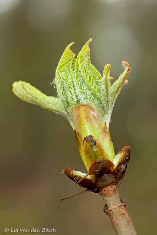 knop paardenkastanje, Aesculus hippocastanum