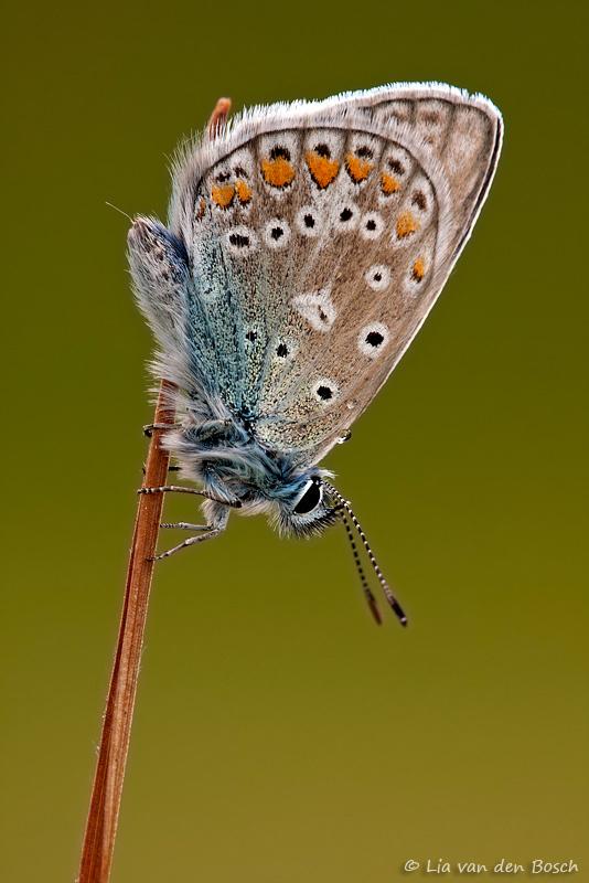 Foto van een icarusblauwtje